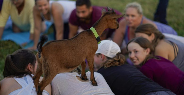 A goat named Halle Baaarry climbs on people's backs at the end of a session at Goat Yoga of Missouri near Columbia.