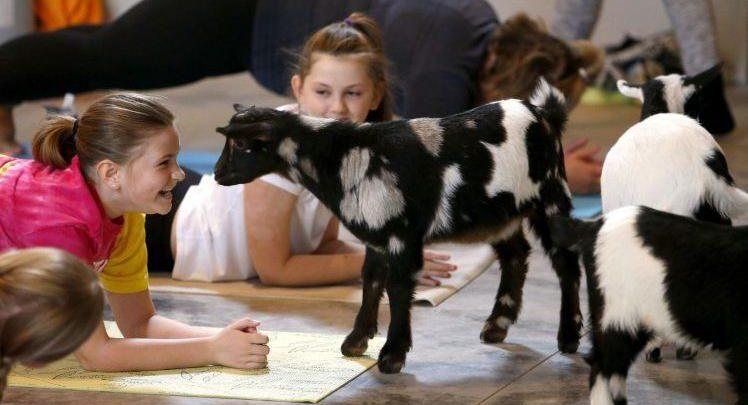 Goats, yoga combine in 'feel good' classes   Her