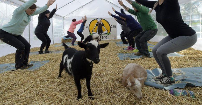 Goat yoga craze: Oregon yoga business goes viral