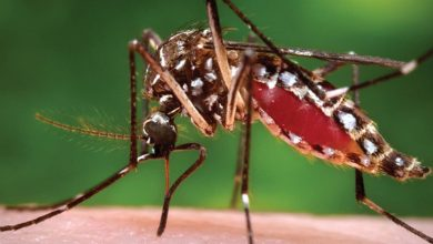 Photo of the Aedes aegypti mosquito, 2018; photo credit: James Gathany